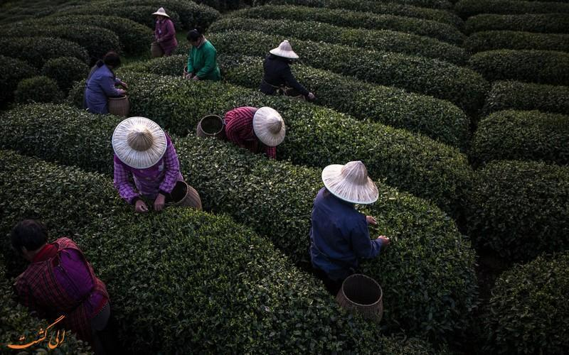 تصاویری مسحورکننده از مزارع چای در چین!