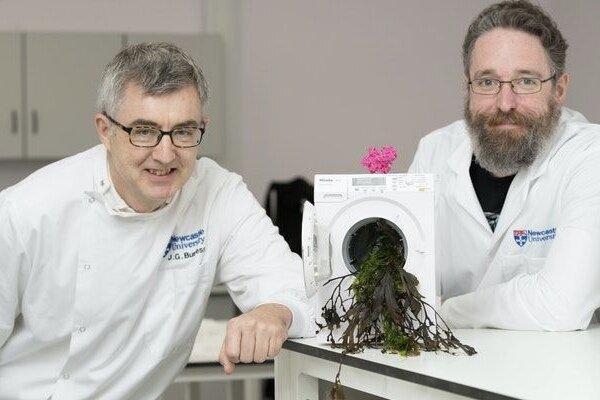فراوری پودر شوینده حافظ محیط زیست از جلبک دریایی