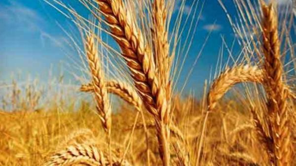 خرید 22 هزار تن گندم مازاد بر احتیاج از کشاورزان سیستان و بلوچستان